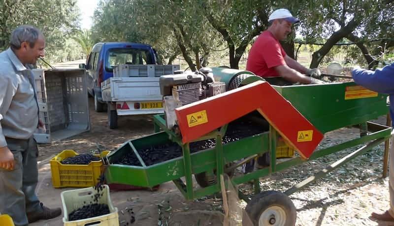 Pulizia delle olive appena raccolte