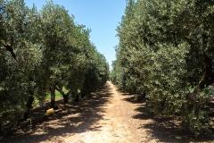 Viale degli ulivi