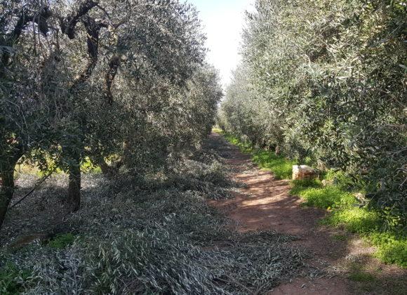 Ricostruiamo il Salento olivicolo….